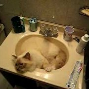 Dior, talking BIrman cat, refusing to leave the sink
