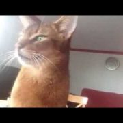 Abyssinian cat demanding kisses