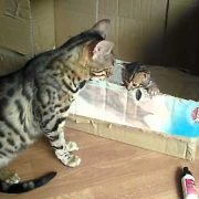 bengal cat talking to her kitten - ORIGINAL
