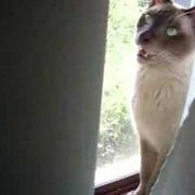Funny Talking Tonkinese Cat