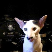 Talking oriental cat Adolf (Kitler)