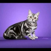 American Shorthair cat being photographed at a cat show