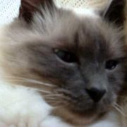 Quincy The Talking Birman Cat