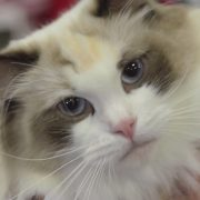 Ragdoll - Cat Breed Spotlight by Petco