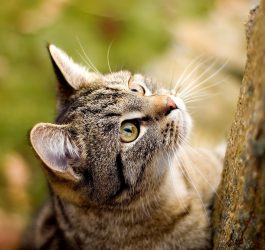 ^ⱷᴥⱷ^ American Shorthair Cat Personality and Breed Traits