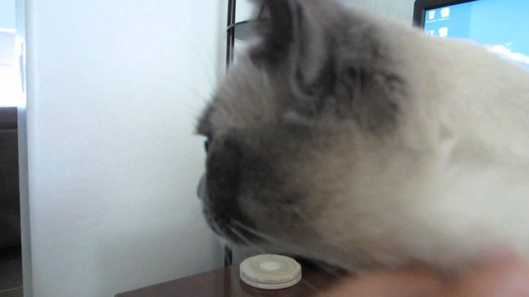 Tonkinese Cat Has a Super-Special Purr (HD)