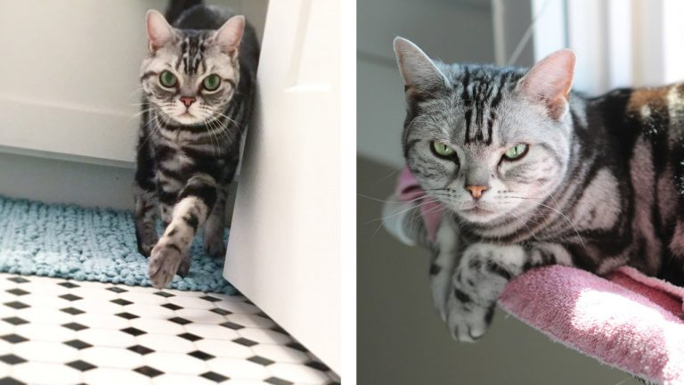 Welcome Home Sophie & Daphne! (American Shorthair Silver Tabby Cats)