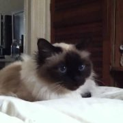 Bali the Birman cat talks about gossip