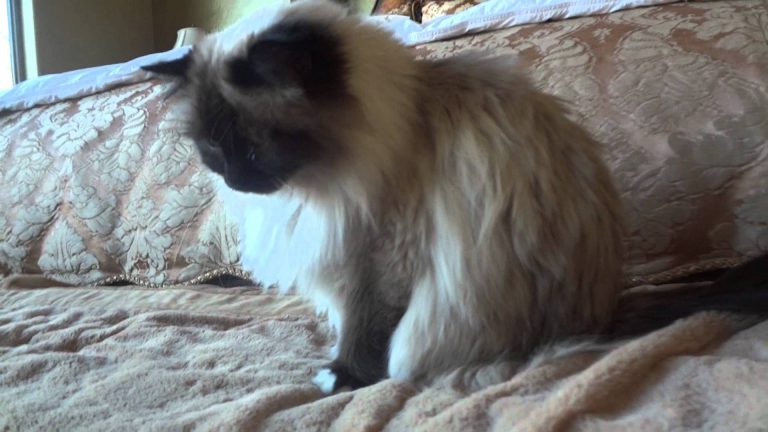Showing off my 3 Birman Cats! Show Cats