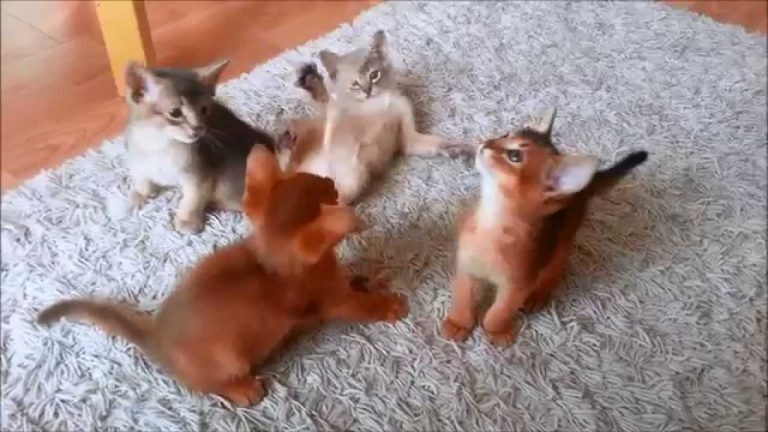 Abyssinian Kitten playing - 7 weeks old