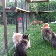 Maine Coon - Fox (24