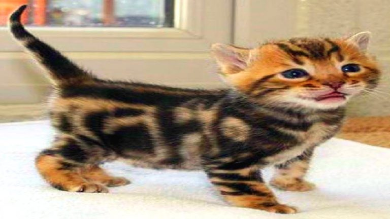 Funny Bengal Cat Videos