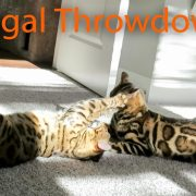 Bengal Cat Throwdown