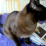 Burmese cat - talking and a lot of purring