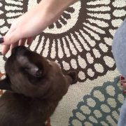 My extra affectionate Burmese cat Ozzy!