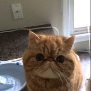 Exotic Shorthair Cat Meowing