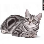 American Shorthair - Cat Pictures
