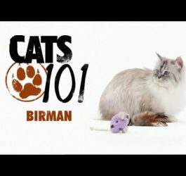 CATS 101 - Birman [ENG]