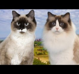 Birman Cat VS Ragdoll Cat  - 101