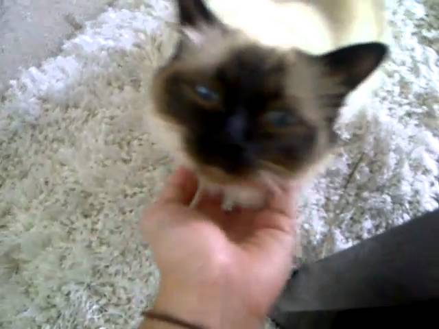 my Birman cat loves attention
