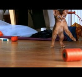 Abyssinian Remy Steals the Spotlight | Too Cute!