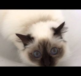 Funny Birman cat  get scared of 'nothing' in the bath!