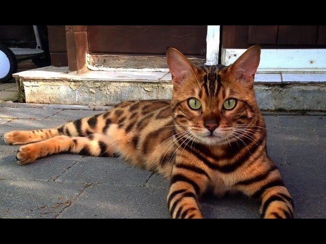 This Cat Is Named Thor And Looks Like A Bengal Tiger