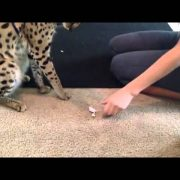 Exotic Pet Cat Serval Eats 10 Live Mice