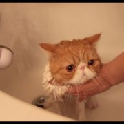 Exotic Shorthair Kitty in Bubble Bath