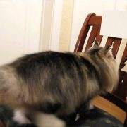 This Norwegian Forest Cat Shows Off More Tricks!