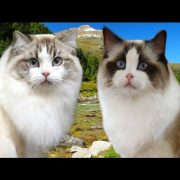 Ragamuffin cat VS Ragdoll cat - 101