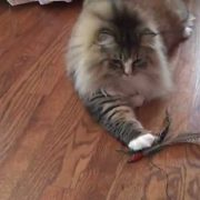 RagaMuffin Cat for Adoption