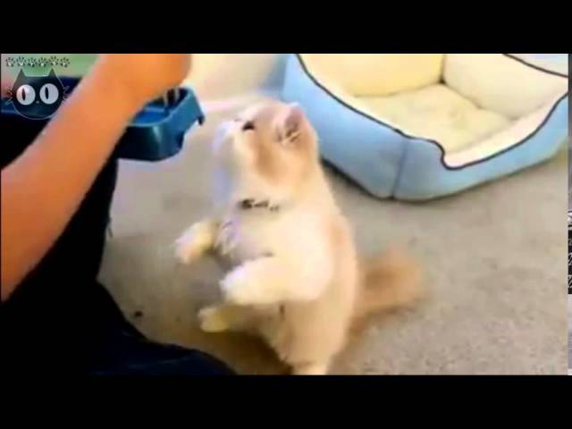 How to feed Persian cat - Funny