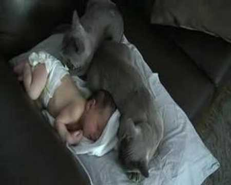 Burmese Cats guard newborn