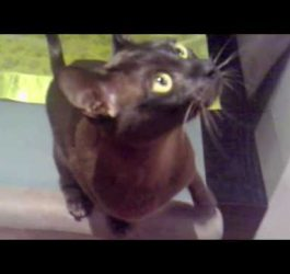 Curly, the brown burmese cat