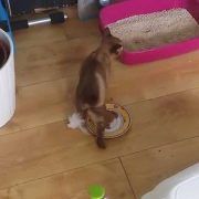 Kitten's first day in her new home (Burmese cat)