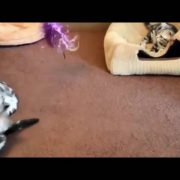 American Shorthair Cat Mating In Love | Cat Mating