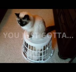 Birman Cat Escapes Horrible Laundry Basket Jail
