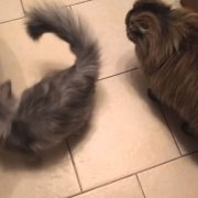 Siberian Cat and Kitten meow for food