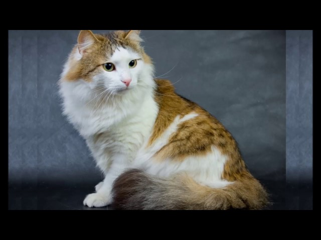 Ragamuffin cat History,Personality,Health,Care