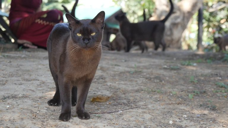 Reintroducing the Burmese cat to Burma