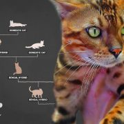 Meet the designer cats with wild blood