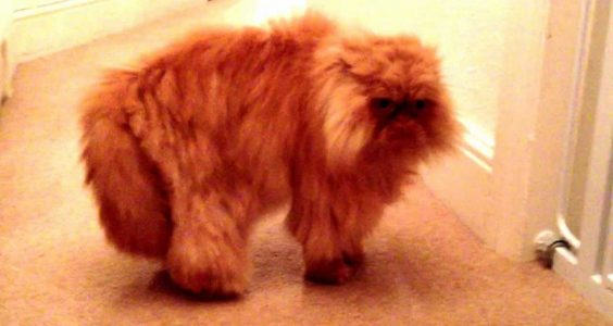 Angry Persian Cat miaowing and hissing - Reuben talking to Cosmo