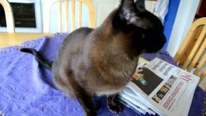 Burmese cat – talking and a lot of purring