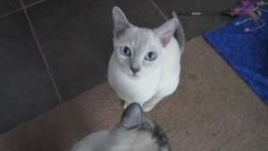 Cat Tricks – Simple Commands – Tonkinese (HD)