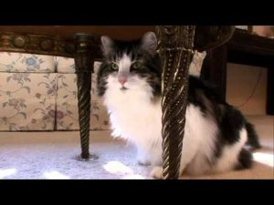 Cats 101 Animal Planet – Norweigan Forest Cat ** High Quality **