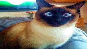 FUNNIEST SIAMESE CATS EVER