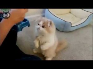 How to feed Persian cat – Funny