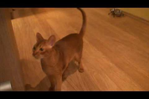 Abyssinian cat - acting like dog