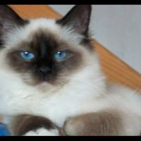 How To Take Care of Birman Cats   How To Care For Birman Cats at Home